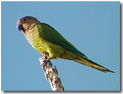 Birds of Bonaire - Caribbean Parakeet - Bonaire birds and birding